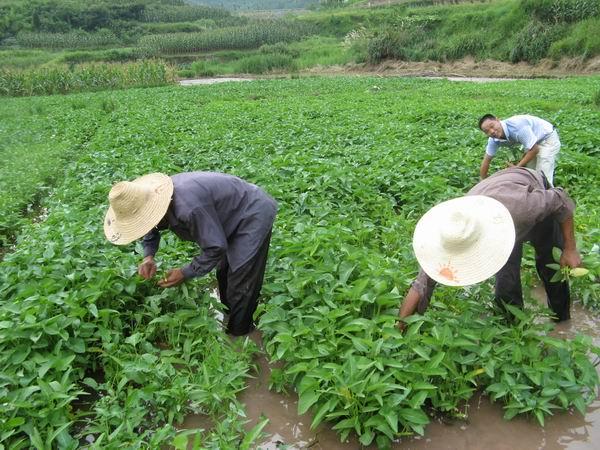 竹叶菜_2013年峨眉山野生蔬菜系列竹叶菜全面上市绿